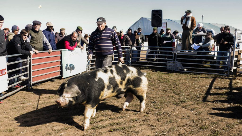 cerdos-AA-1024x576